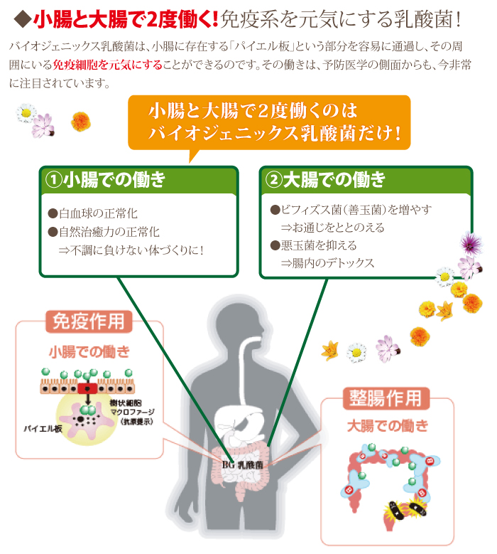小腸と大腸で2度働く 免疫系を元気にする乳酸菌